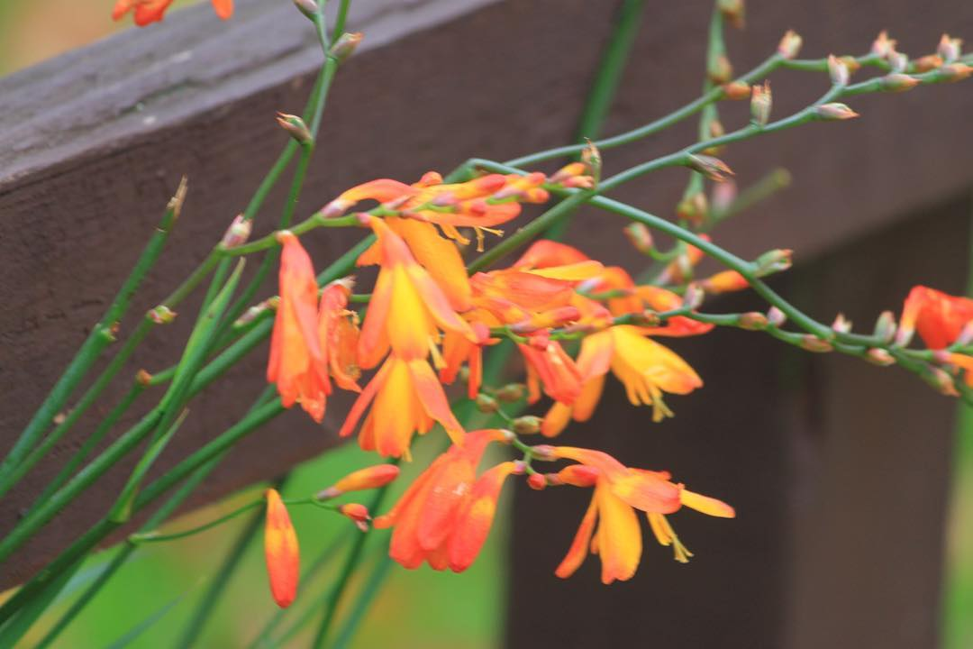 Orange Crocosmia for Wednesday      hellip