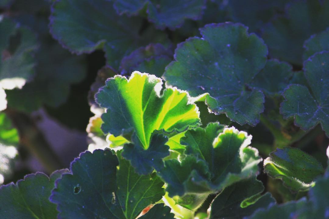 Geranium leaves in the morning sun for Green Friday hellip
