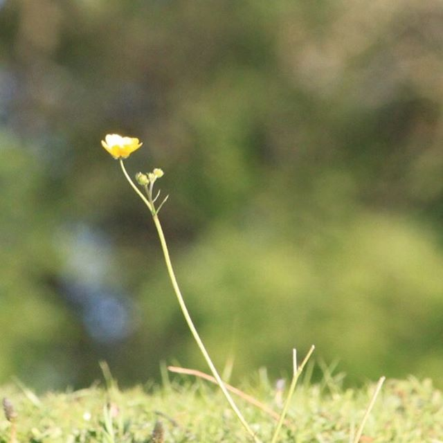A buttercup alone       hellip