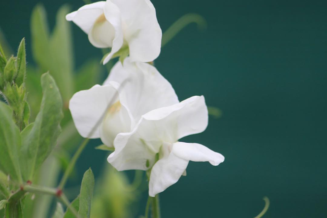 White Sweet Peas for White Sunday    hellip