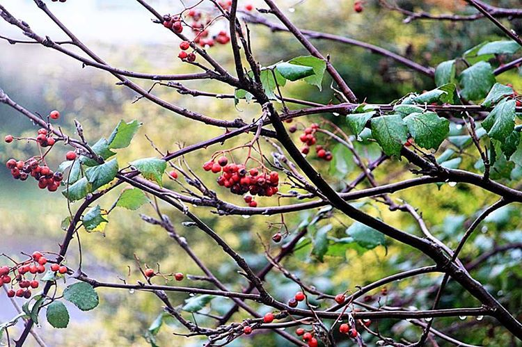 atozdecember2016 B is for Berries nothingisordinary tistheseason2016 Continue reading rarr