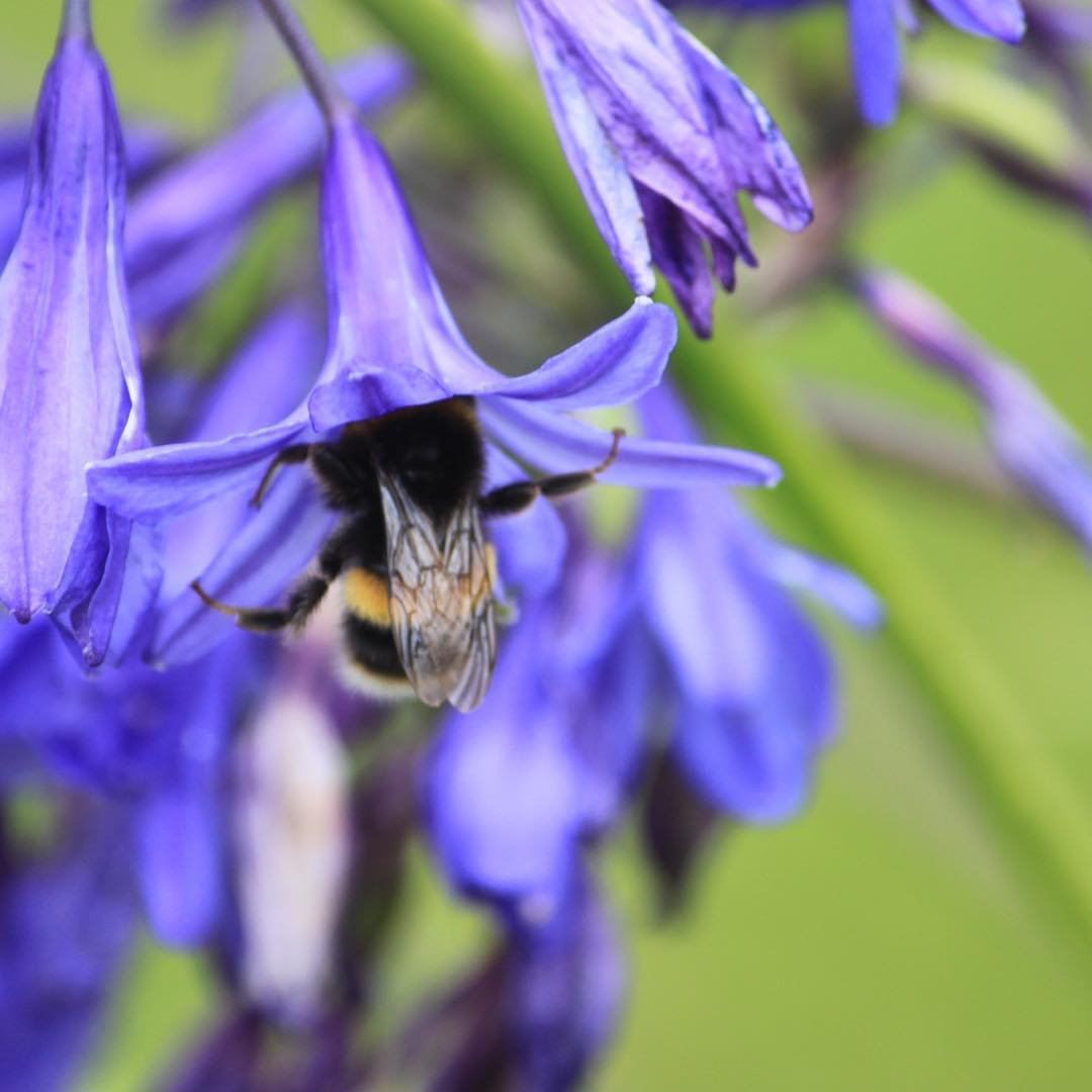 Blue agapanthus and bee for Blue Saturday   hellip