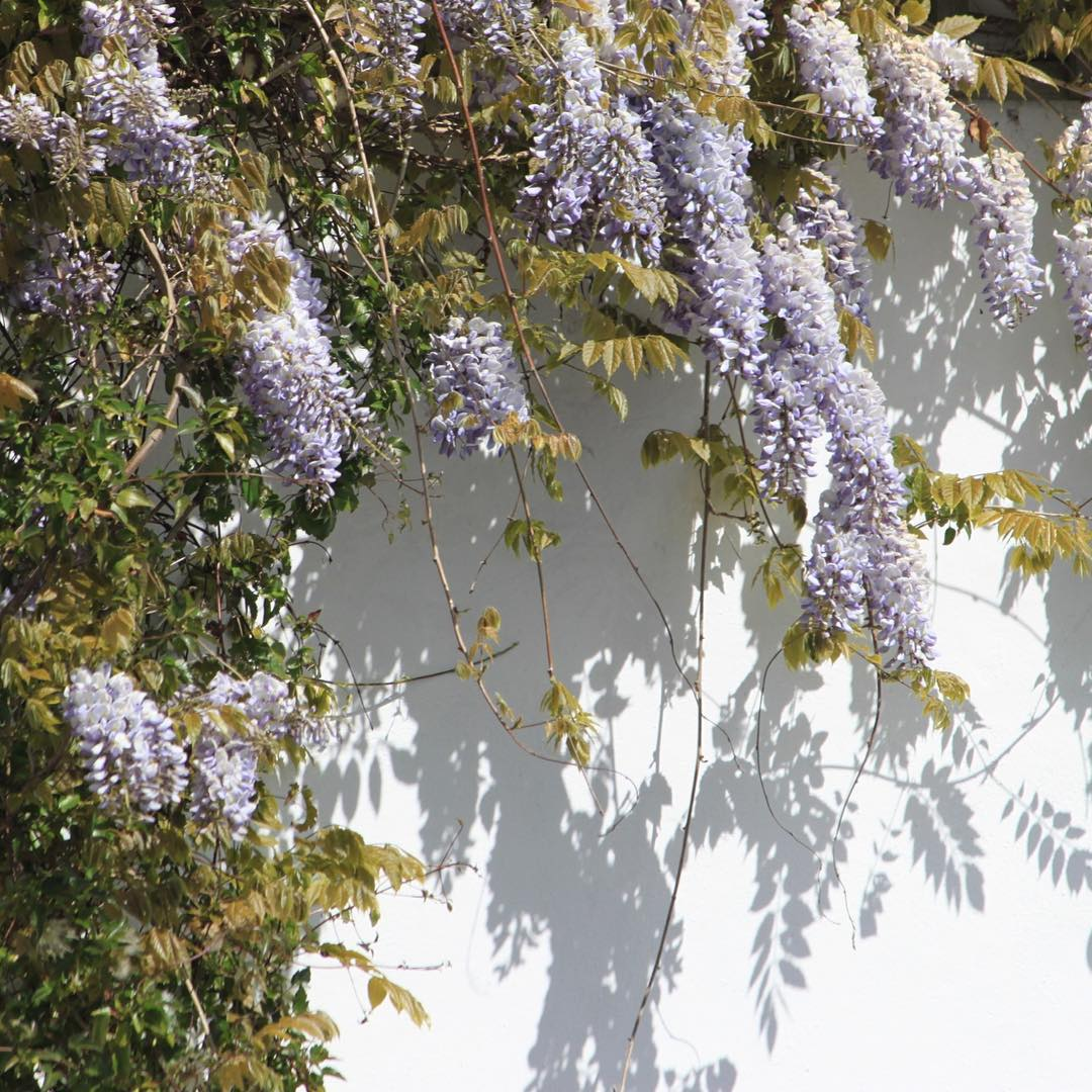 Wisteria and shadows       hellip