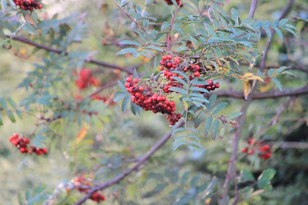 Red Rowan berries for Red Thursday    hellip