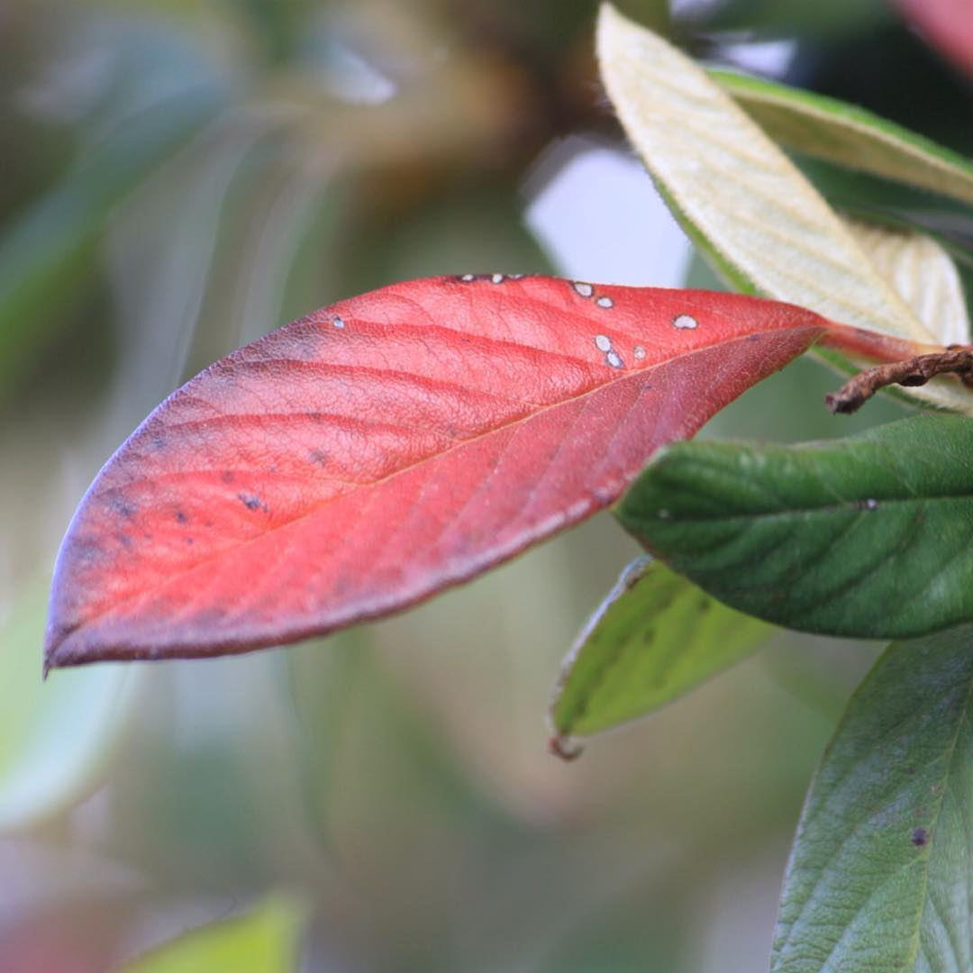 A red leaf for Thursday     hellip