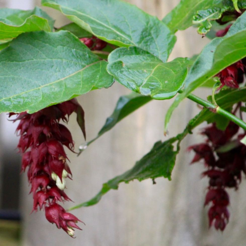 Leycesteria for Purple Tuesday      hellip