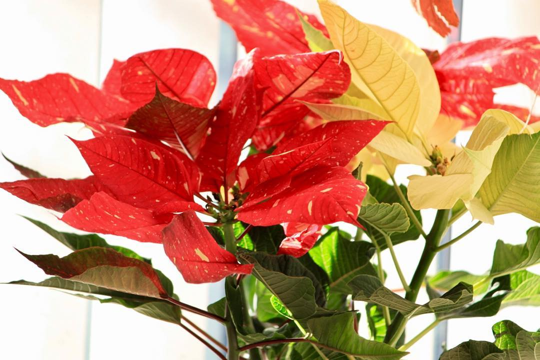 My red cream and variegated poinsettia Ive had it ahellip