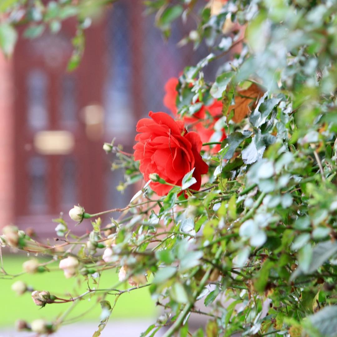 A red rose on the dog walk Continue reading rarr